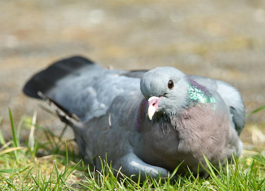 Holenduif, Stock Dove, zonnen, sunbathing