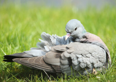 Holenduif, Stock Dove, poetsen, cleaning, preening