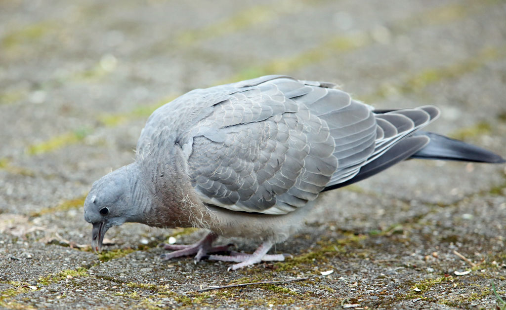 Houtduif, Wood Pigeon, juveniel, juvenile