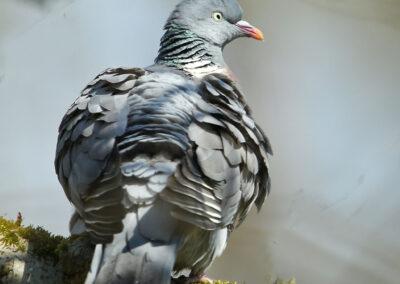 Houtduif, Wood Pigeon, poetsen, cleaning, preening