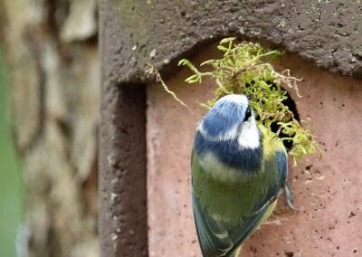 Pimpelmees, Blue TIt, mos, moss, nesting, nestelen
