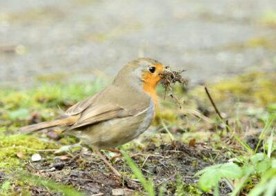 Roodborst, Robin, nestelen, nesting