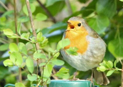 Roodborst, Robin, zingen, zang, singing