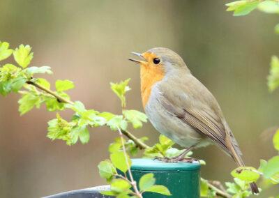 Roodborst, Robin, zang, zingen, singing