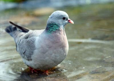 Holenduif, Stock Dove, baden,bathing