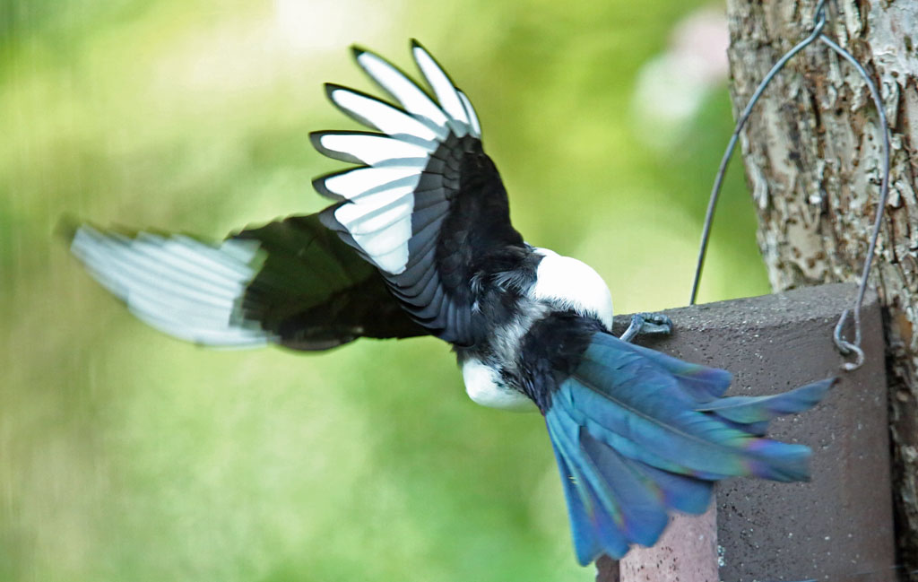 Ekster, Magpie, azen, feeding