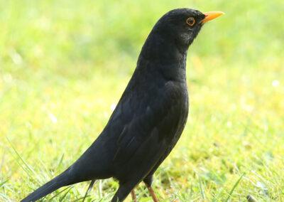 Merel, Blackbird, imponeren, impressing