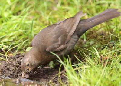 Merel, Blackbird, nestelen, nesting, slijk, mud, modder