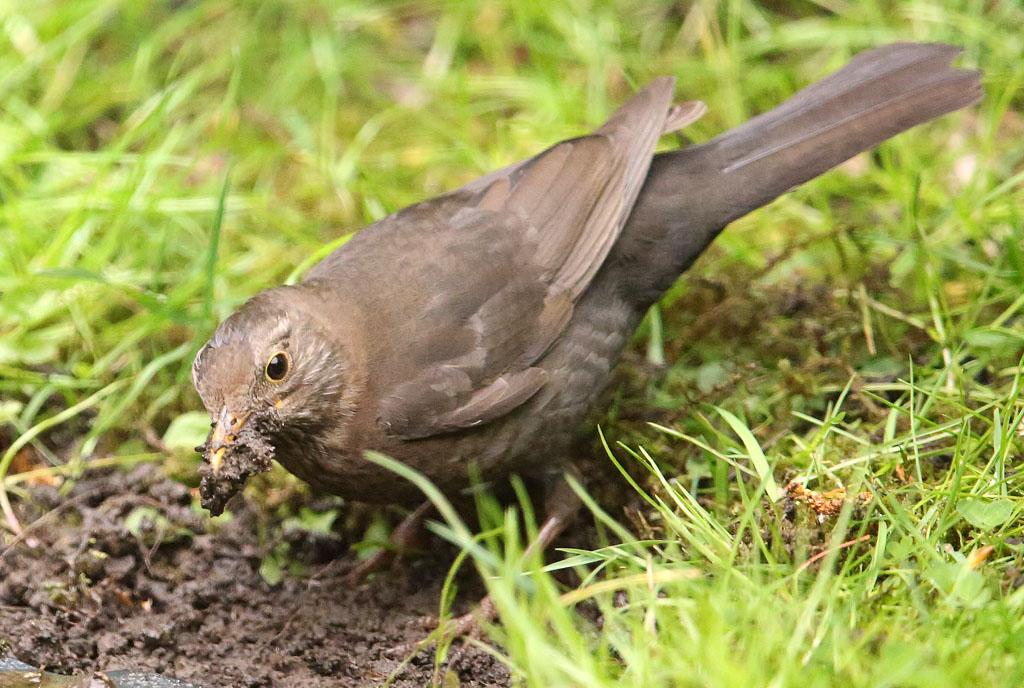 Merel, Blackbird, nestelen, nesting, slijk, mud