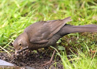 Merel, Blackbird, nestelen, slijk, nesting, mud