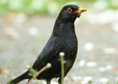 Merel, Blackbird, azen, feeding, worm