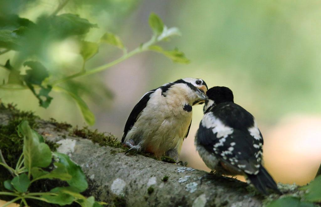 Grote bonte specht, Great Spotted Woodpecker, azen feeding, juveniel, juvenile