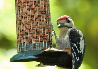 Grote bonte specht, Great Spotted Woodpecker, juveniel juvenile