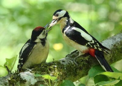 Grote bonte specht, Great Spotted Woodpecker, juveniel, juvenile, azen, feeding