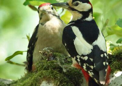 Grote bonte specht, Great Spotted Woodpecker, juveniel, juvenile