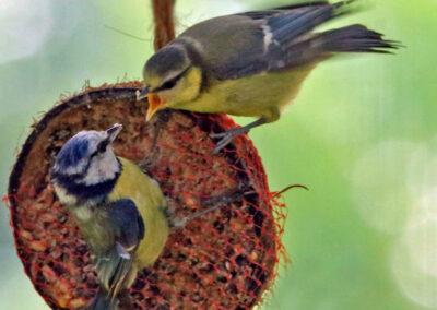 Pimpelmees, Blue TIt, azen, feeding, jong, young