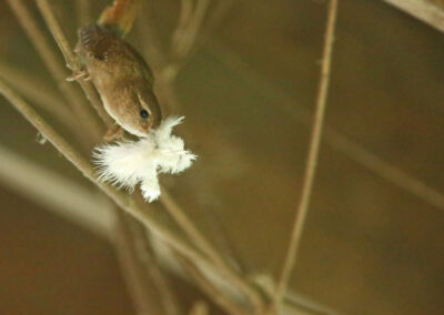 Winterkoning, Wren, nestelen, nesting, veertje, feather