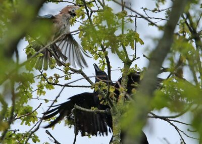 Zwarte kraai, Carrion Crow, Jay, Gaai, vechten, fighting