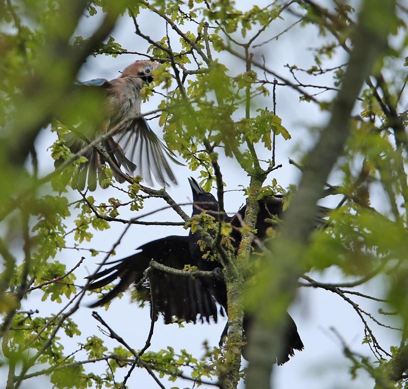 Gaai, Jay, zwarte kraai, Carrion Crow, vechten, fighting