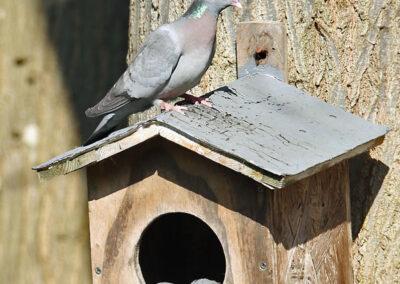 Holenduif, Stock Dove, nestelen, nesting
