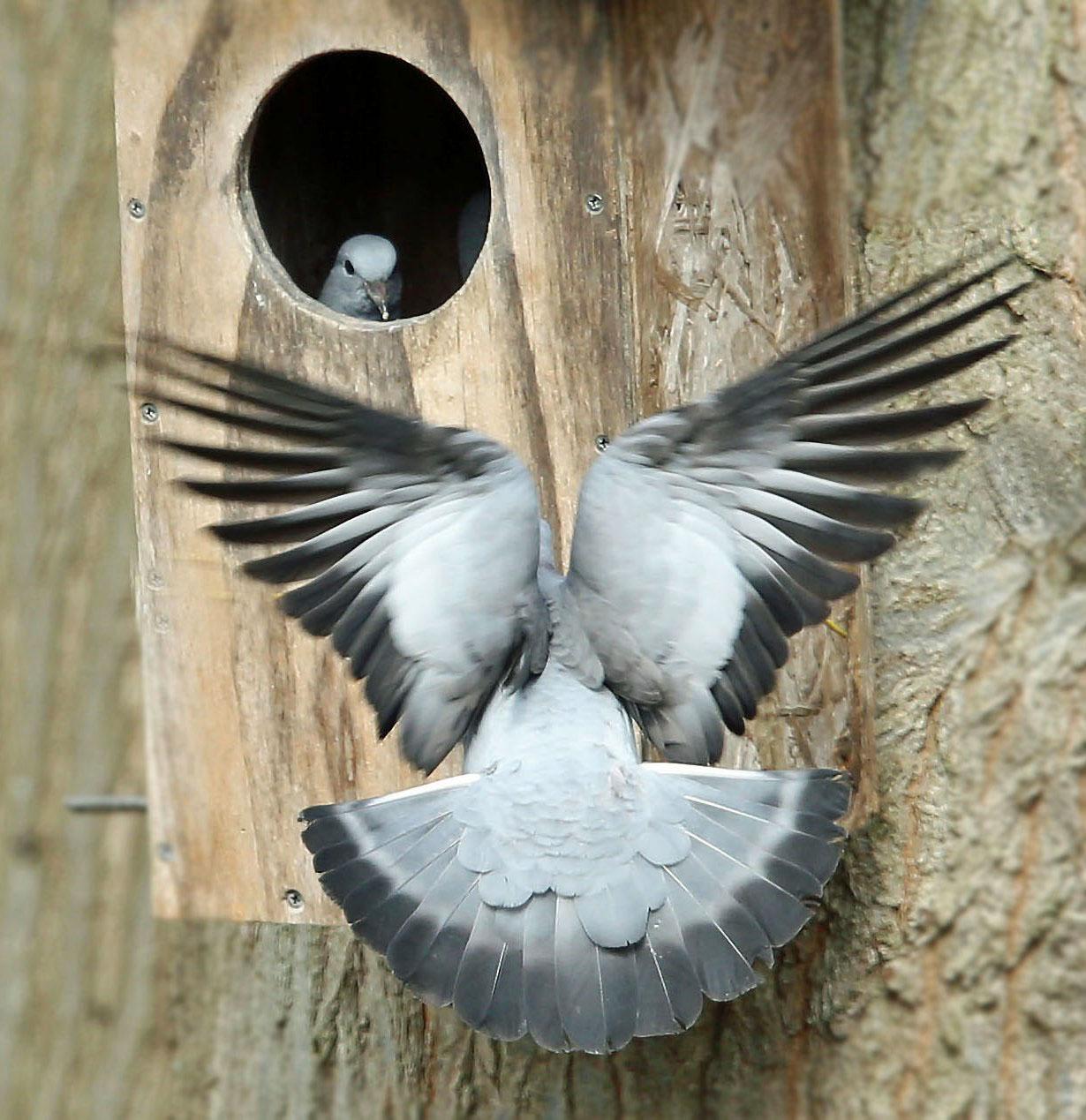 Holenduif, Stock Dove, nesting, broeden, nestelen