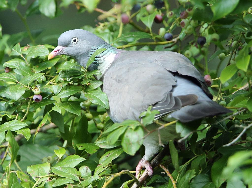 Houtduif, Wood Pigeon, blauwe bessen, blueberries