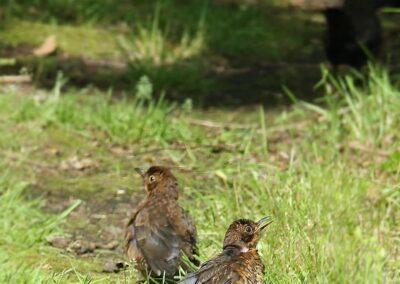 Merel, Blackbird, zonnen, sunbathing, juveniel, juvenile