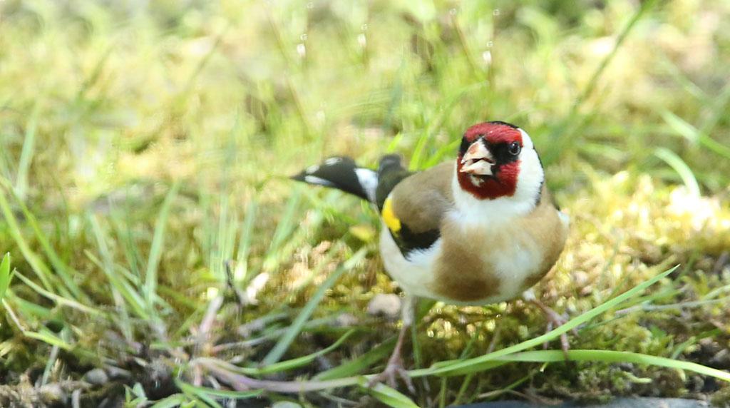 Putter,European Goldfinch, drinken, drinking