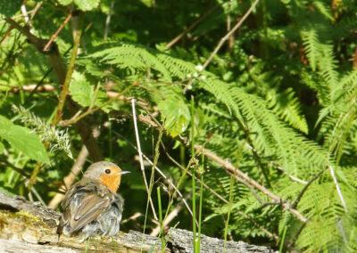 Roodborst, Robin, zonnen, sunbathing